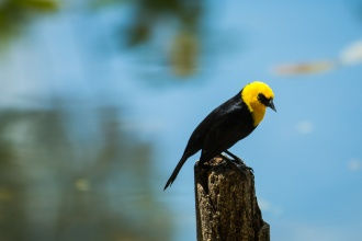 Also known as Yellow-hooded Blackbird (Chrysomus icterocephalus), is related to the Carib Grackle